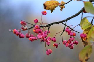 Spindle berries in winter