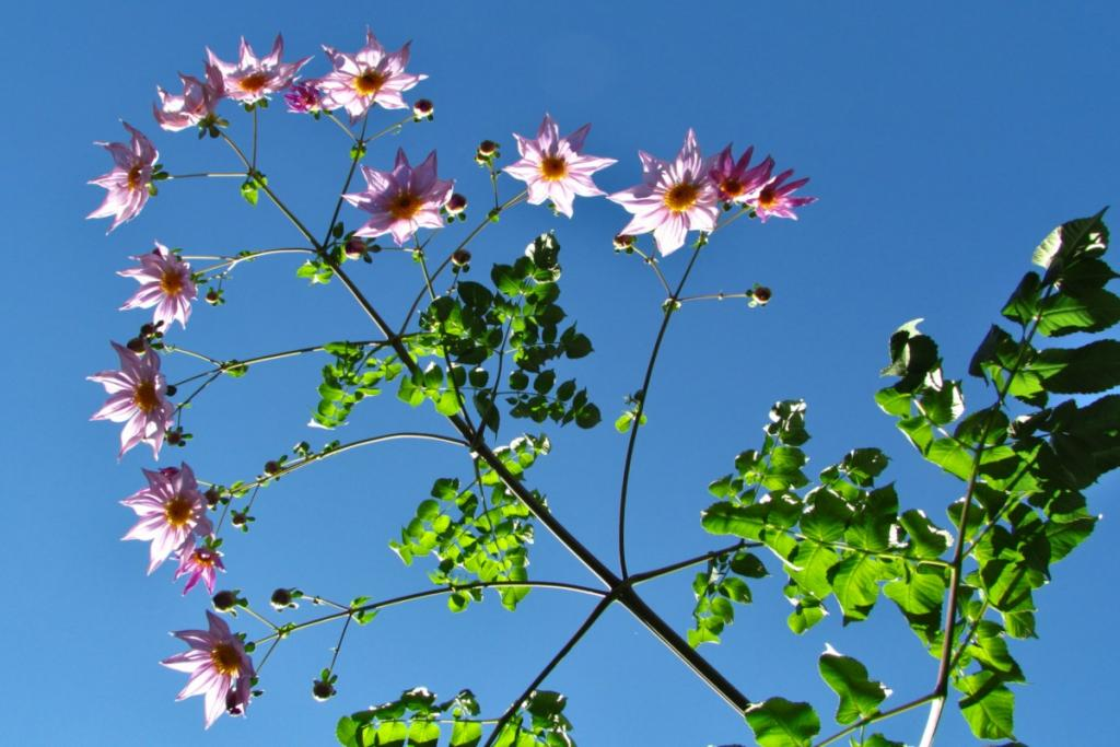 Also called tree dahlia, this bamboo dahlia grows very tall