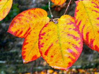 Beautiful fall colors on amelanchier leaves