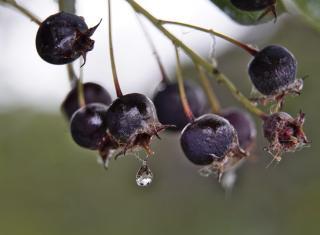 Purple-hued amelanchier berries in the rain