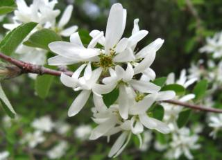 White flowers of the amelanchier tree