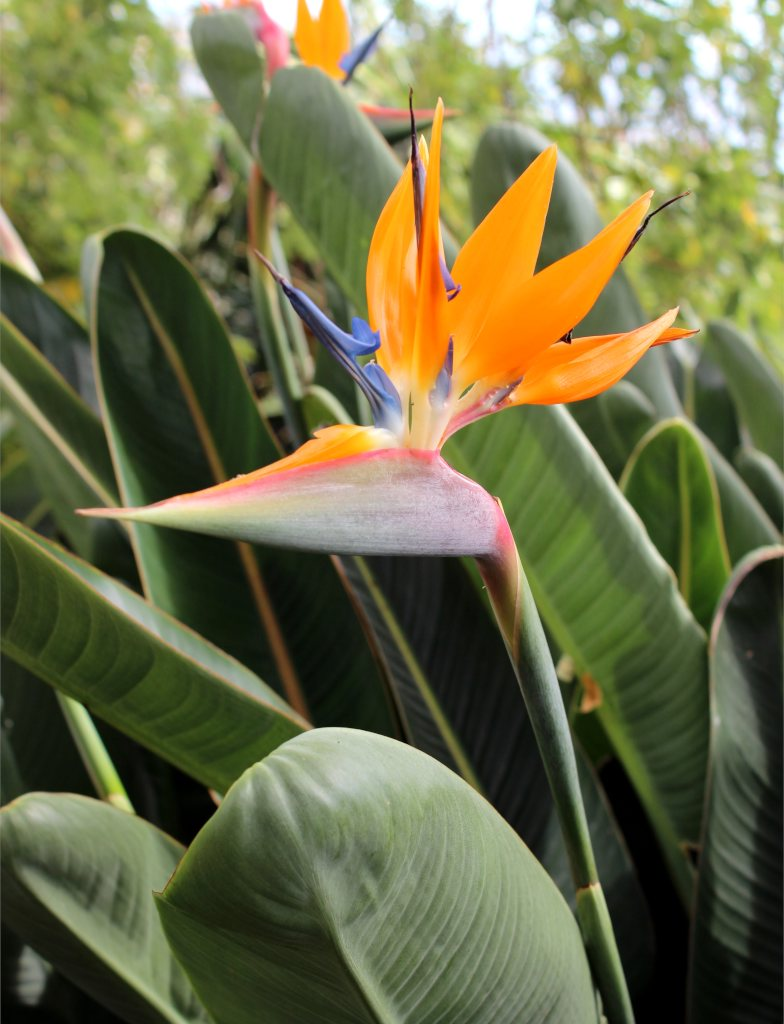 Bird of paradise flower opening with yellow petals against a leafy background.