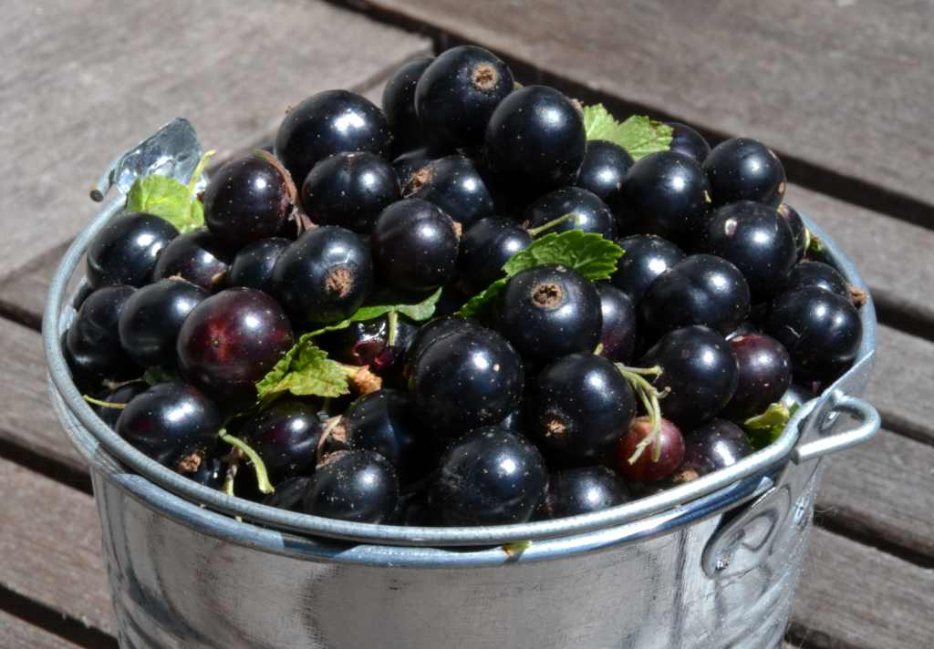 Black currant berries overflowing from a tin pot.