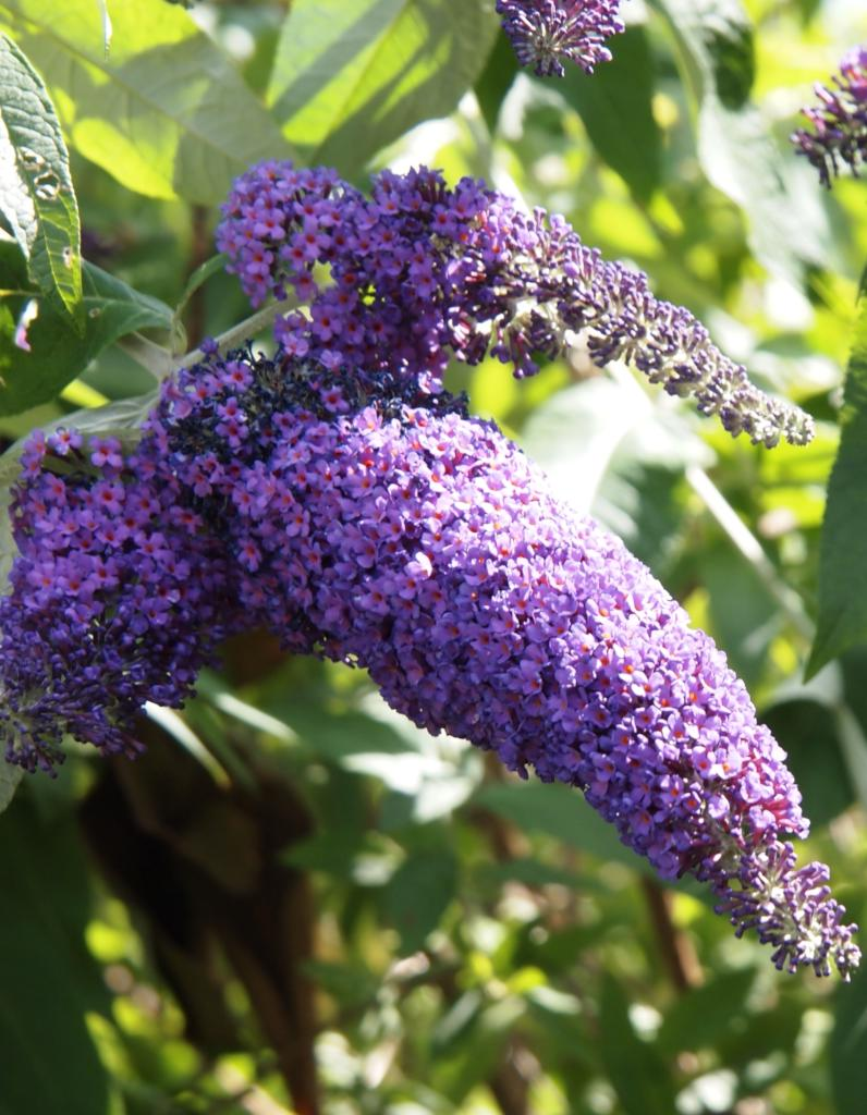 Lilac-colored buddleia flowers in part shade.