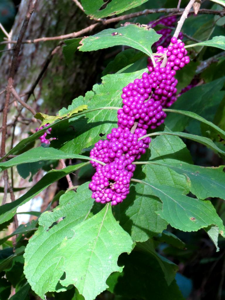 Callicarpa shrub with a loaded branch of berries.