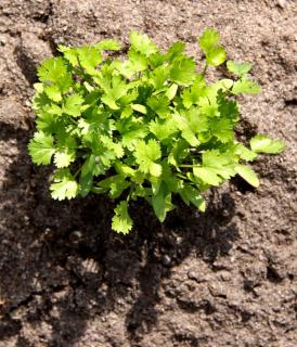 Coriander growing in a bare patch of clay soil.
