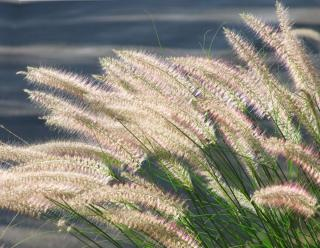Wispy grasses in the wind for a wild garden