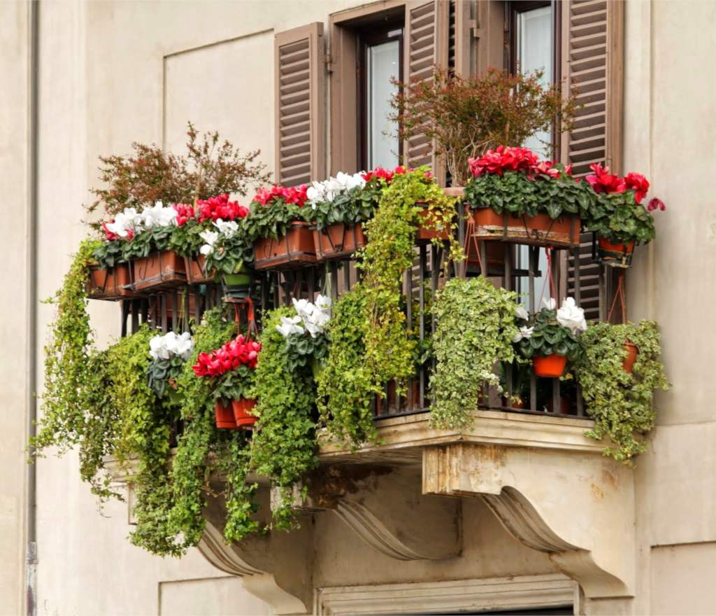 A balcony in winter overloaded with green ivy and red and white cyclamen flowers.