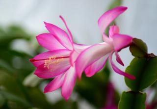 Schlumbergera, also called the season's cactus, in full bloom.