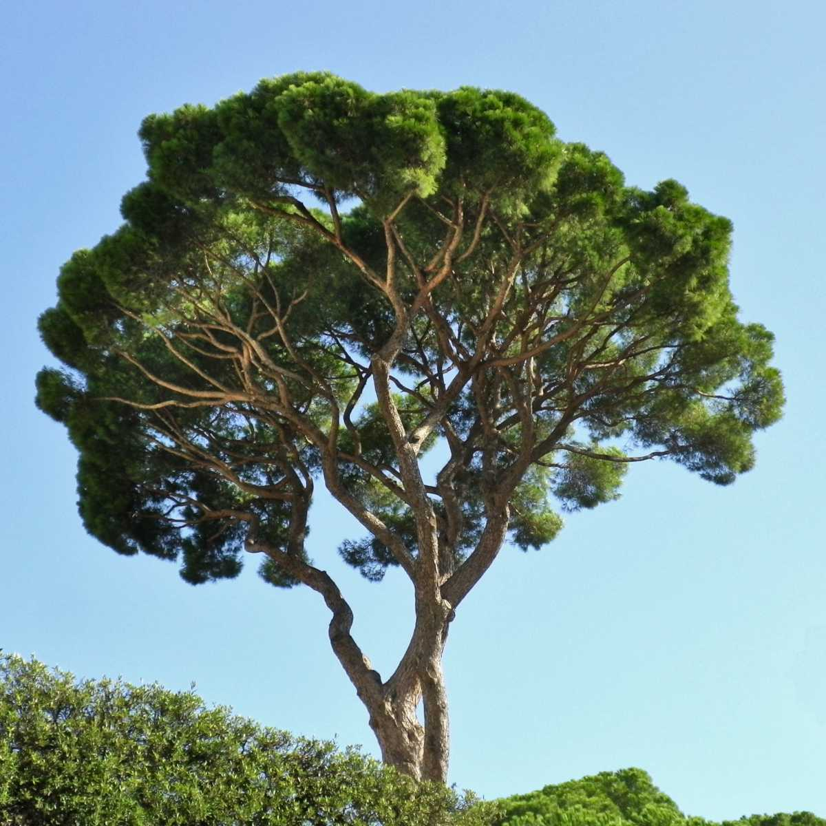 Stone pine tree seen from below