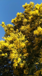 Tall mimosa tree in full bloom.