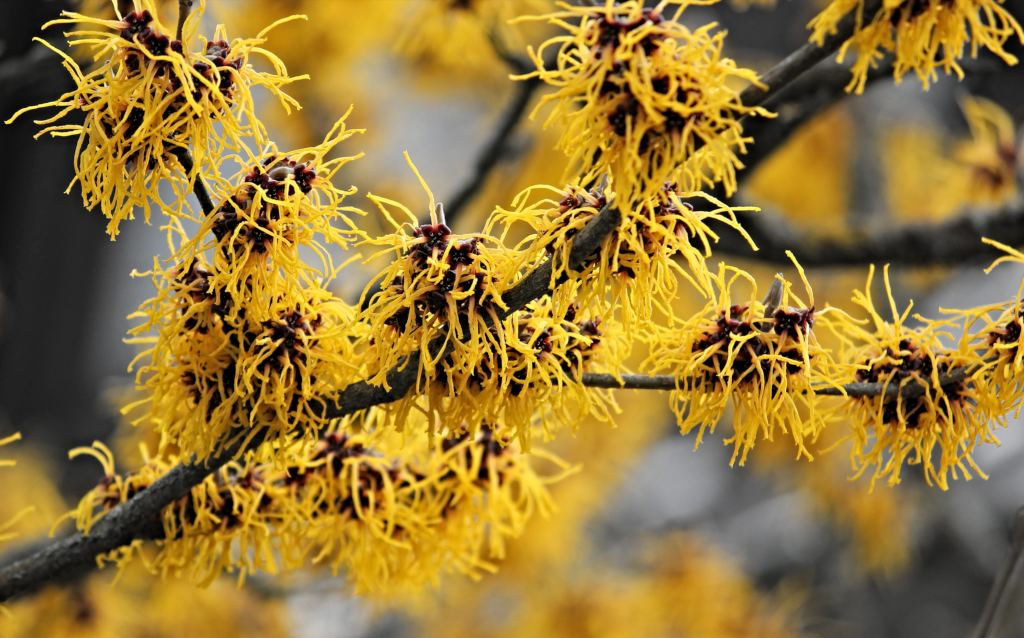 Witch Hazel Planting Pruning And Blooming Resistance To Frost