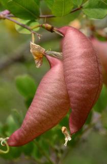 Bladder-senna fruits, light pink balloons