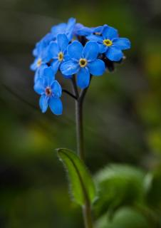 Deep blue forget-me-not cluster on a single-leaved stem.