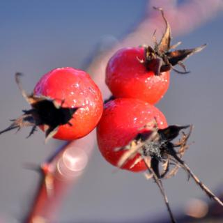 Health benefits of hawthorn, three berries on a branch.