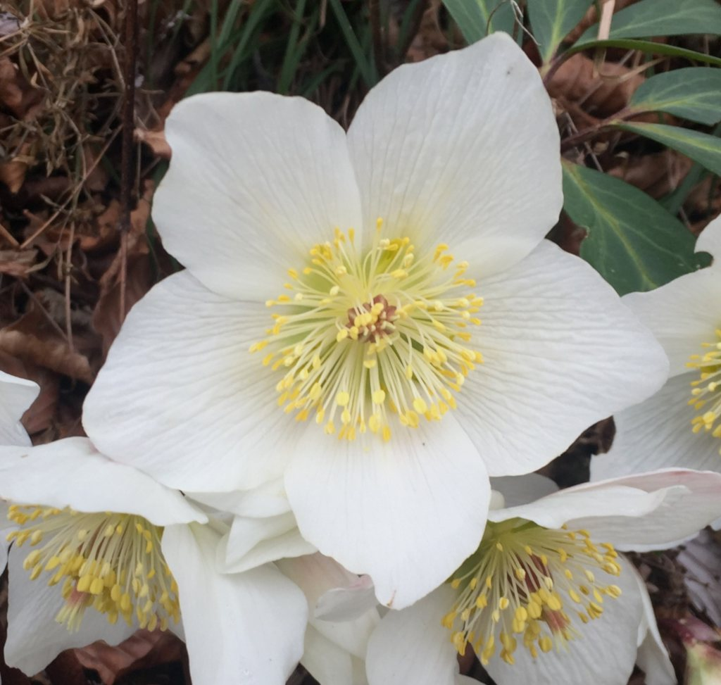 White hellebore bloom facing upwards.