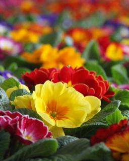 Endless view of bright-colored primroses with a yellow one in the forefront
