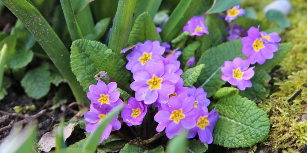 Primrose planted along an edge, blooming purple