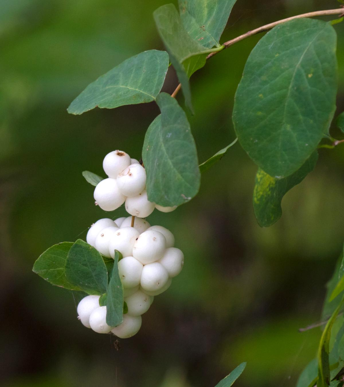 Snowberry pearls with a few leaves on a twig.