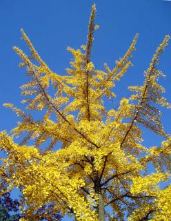 Young ginkgo tree with yellow leaves in the blue autumn sky.
