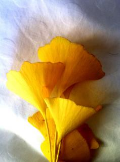 A few yellow ginkgo leaves harvested for their benefits.