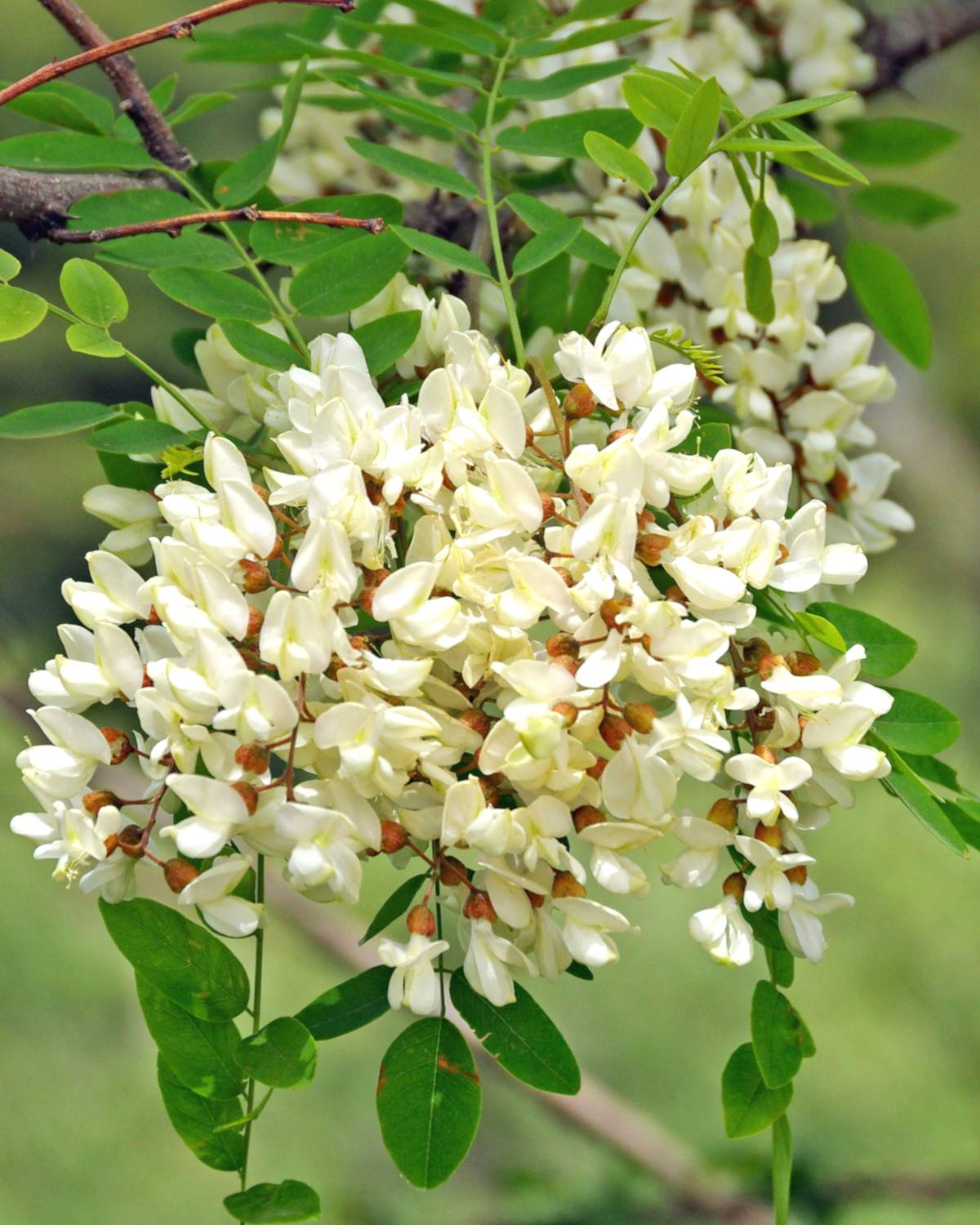 White cluster of black locust flowers