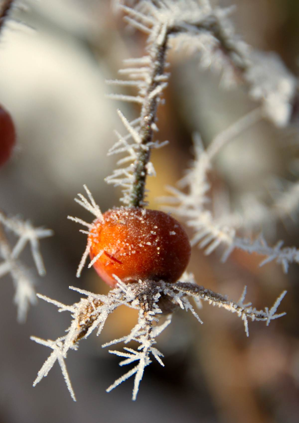 Frost draws stars on a berry