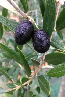 Close-up of an olive tree with two ripe, black fruits on a branch.