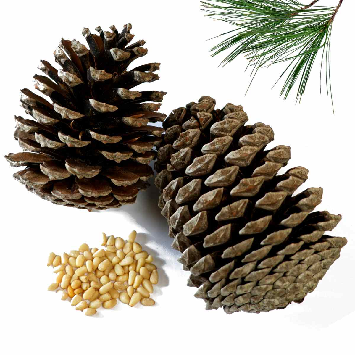 Pine tree branches, cones and fruit pips are healthy for the body.