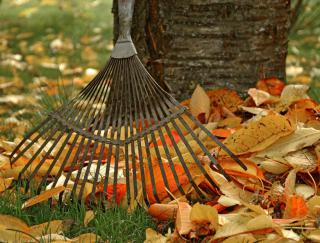 A rake and leaves against a cherry tree trunk.