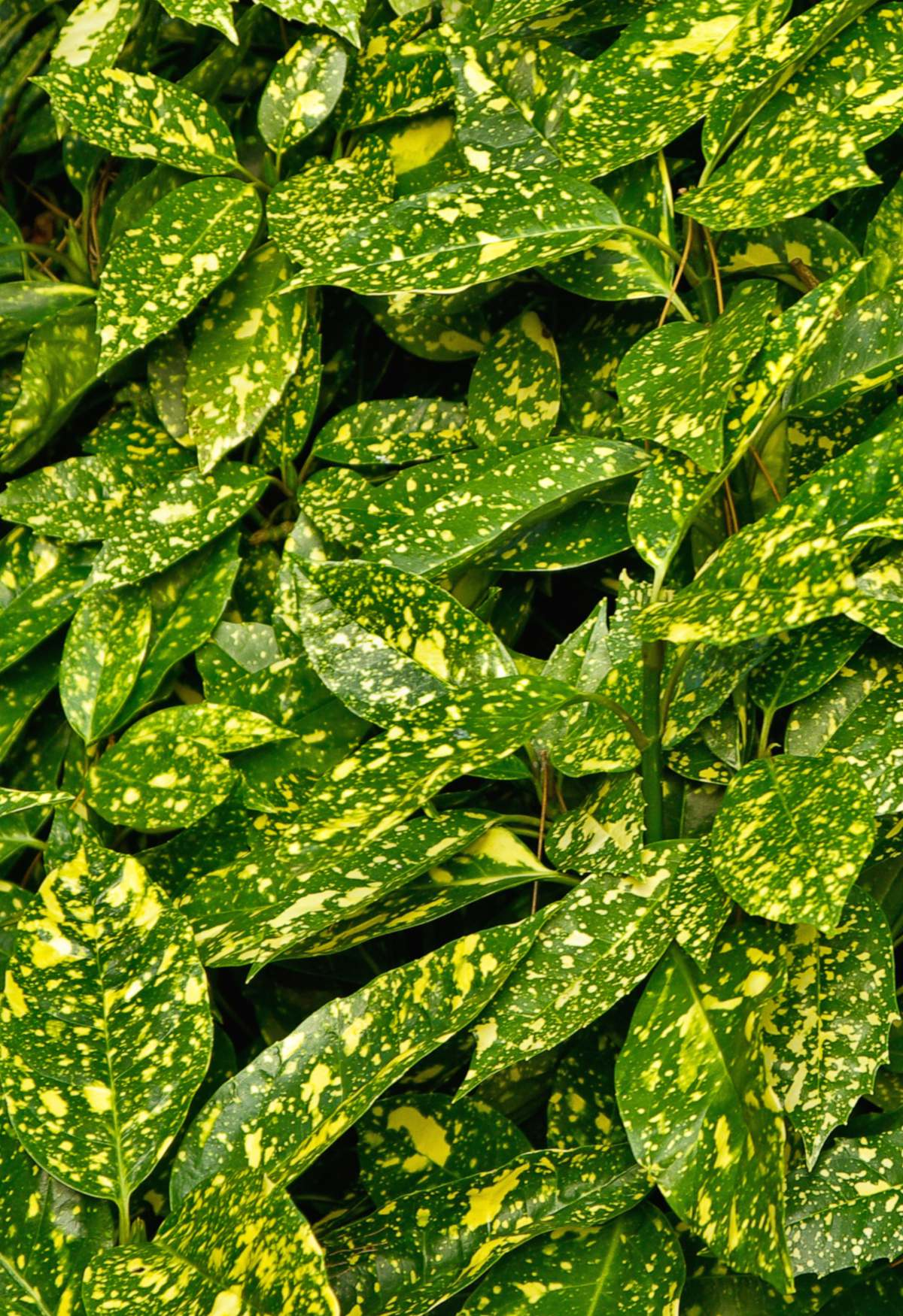 Spotted laurel leaves