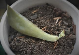Leaf sprouting a bud