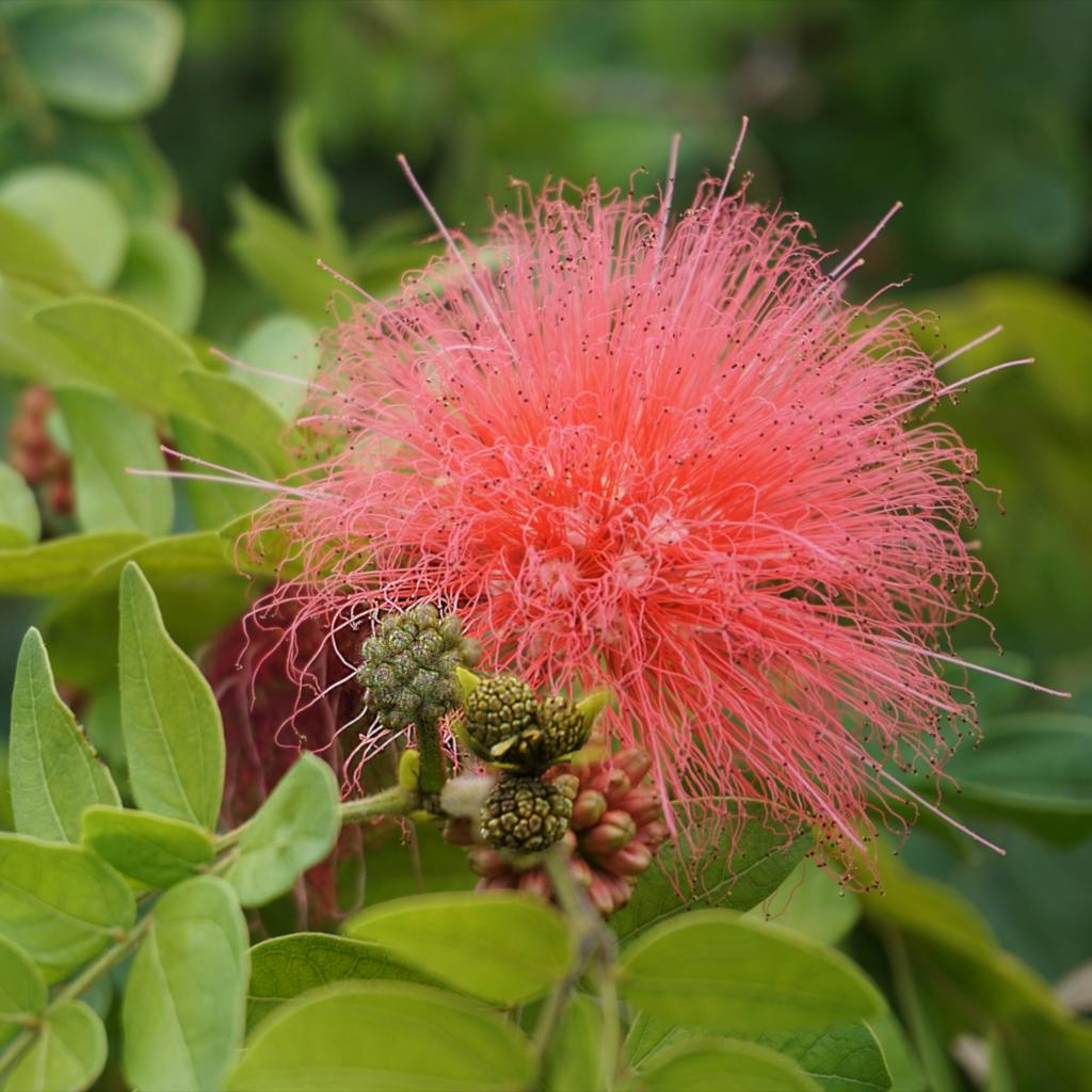 Pink calliandra flower with more budding flowers.