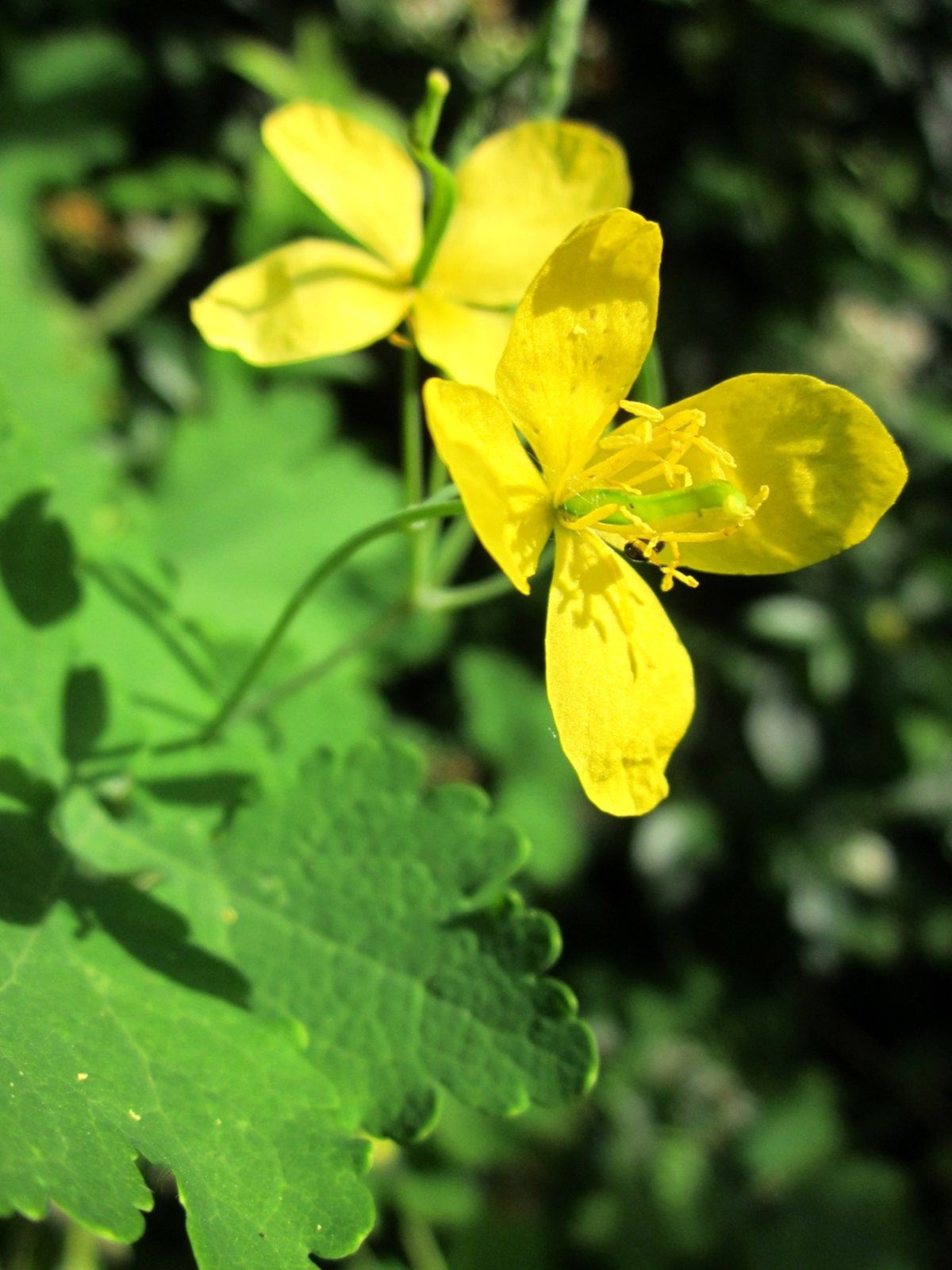 Greater celandine flower and leaf