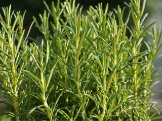 Lush rosemary shrub