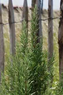 Well-cared for rosemary along the coast