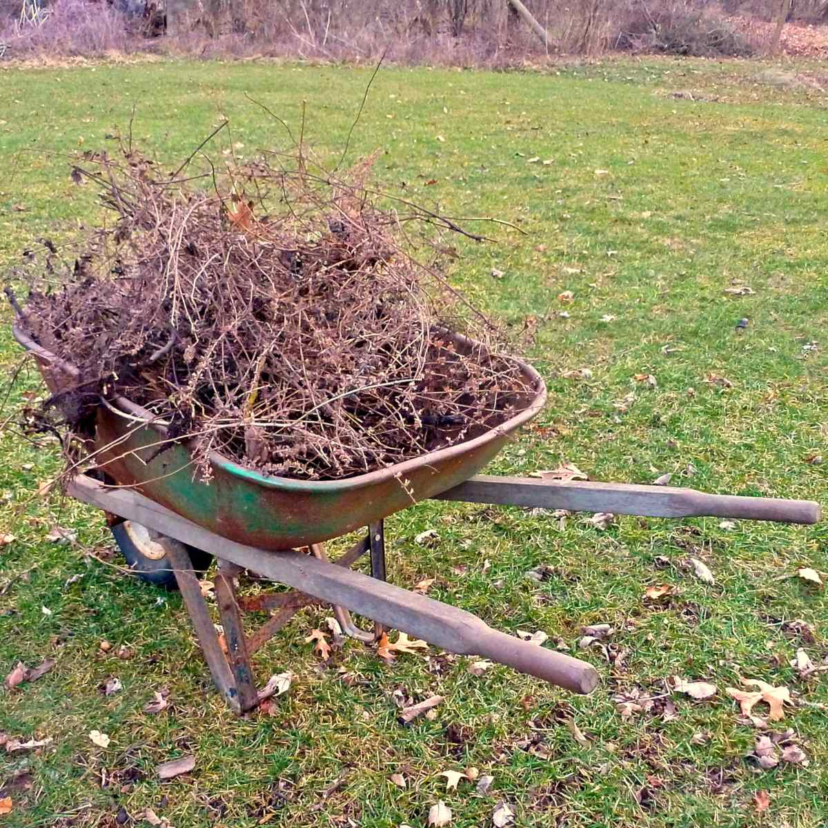A wheelbarrow with dead branches inside.