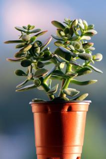 A plastic pot with a small Jade tree growing in it against a hazy background.