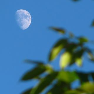 The moon in a blue sky influcencing hazy tree leaves in the foreground.