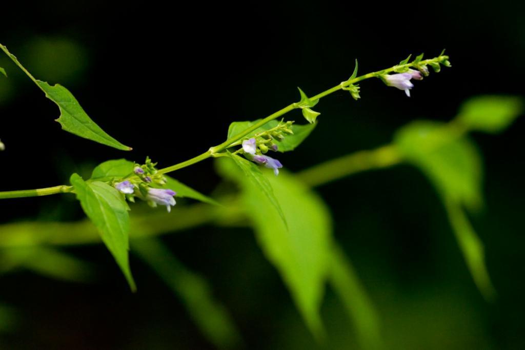 Benefits of the skullcap plant