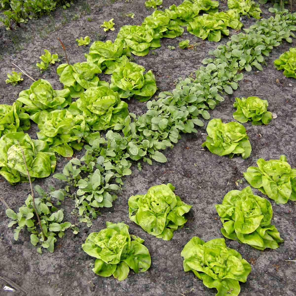 Rows of lettuce and radish sowed and planted in a spring vegetables patch.