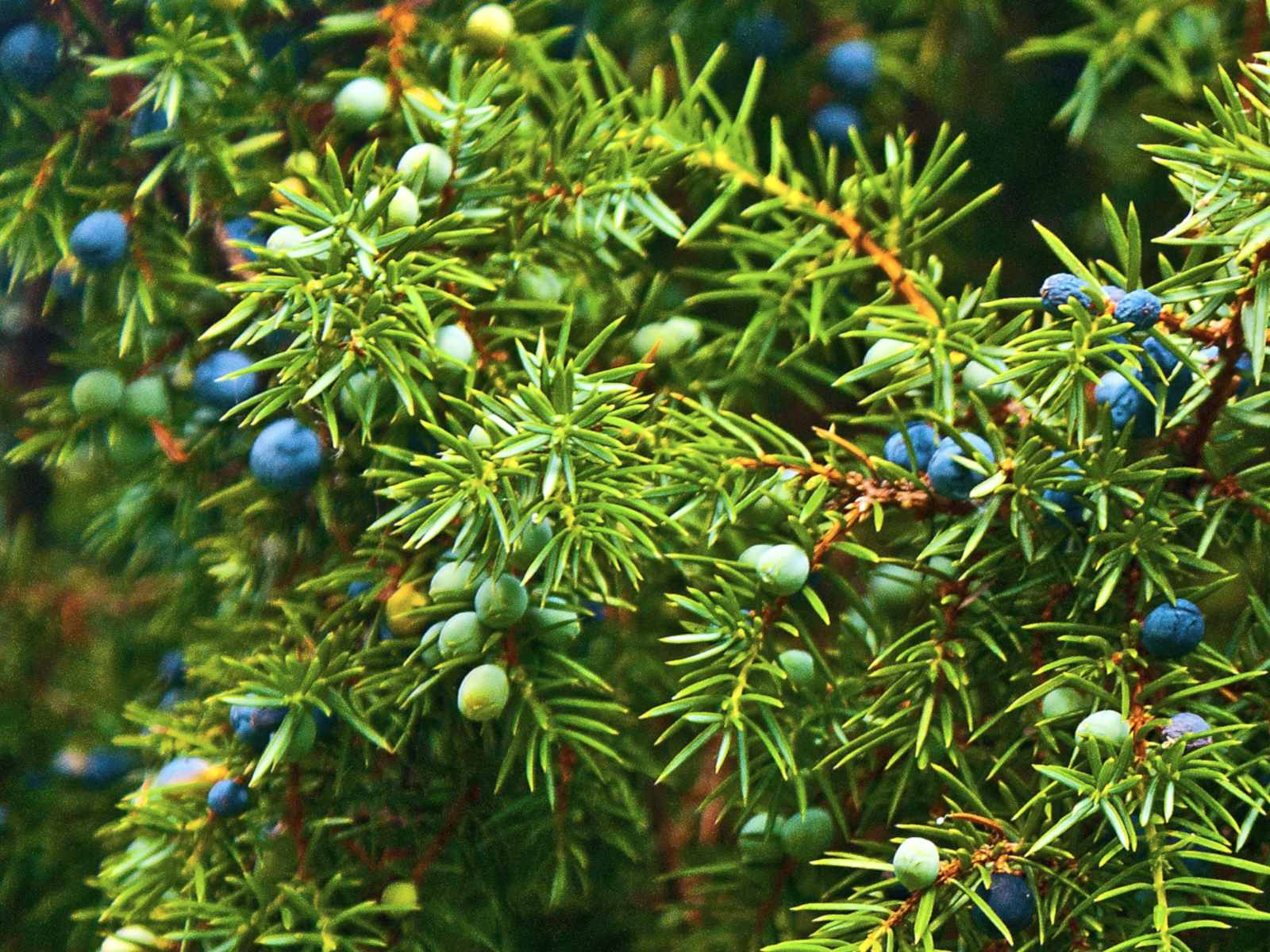 Plants for new year include juniper.