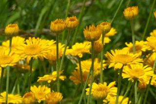 Yellow anthemis flower blooms in a dense field.