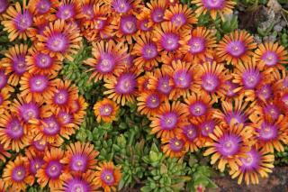 Carpet of Delosperma cooperi flowers