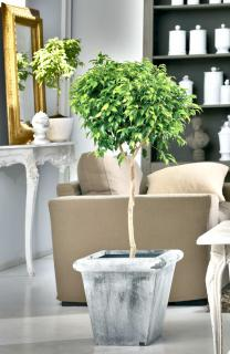 Two ficus benjamina houseplants in an elegant setting.