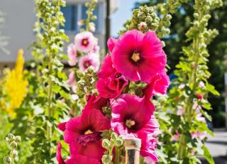 Many different hollyhocks blooming in an urban landscape