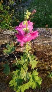 Well-cared for but short pink hollyhock in front of a small stone wall.