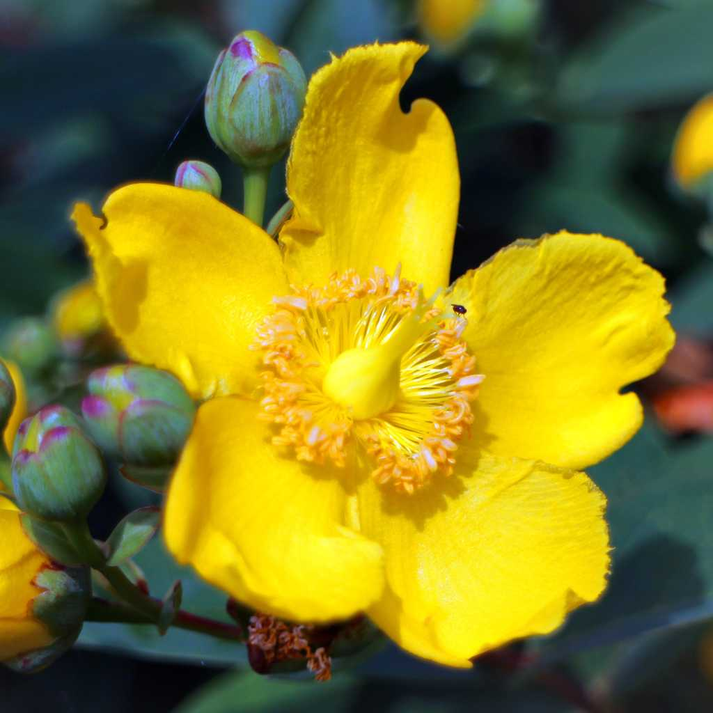 Saint John's wort, a basket of sunlight in the garden!