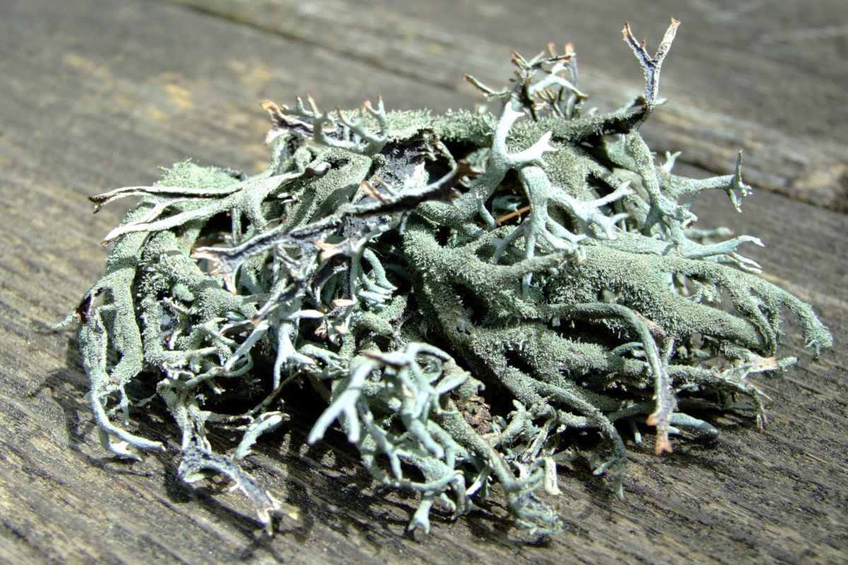 Strand of lichen full of health benefits