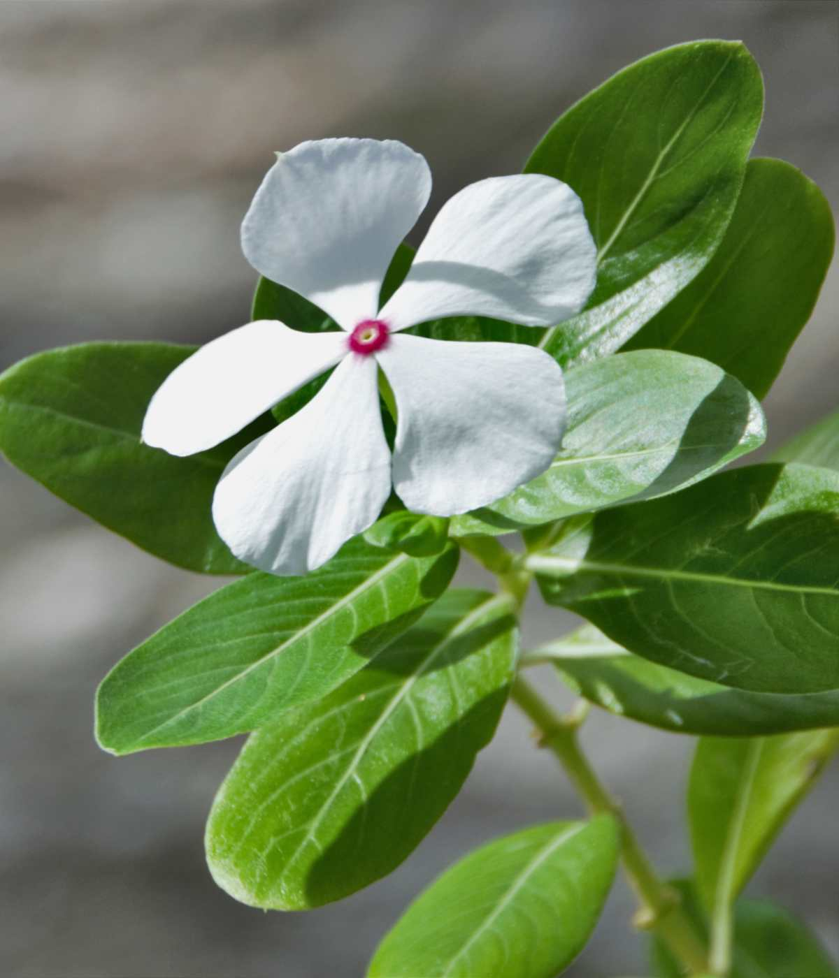 Beautiful madagascar periwinkle sprig